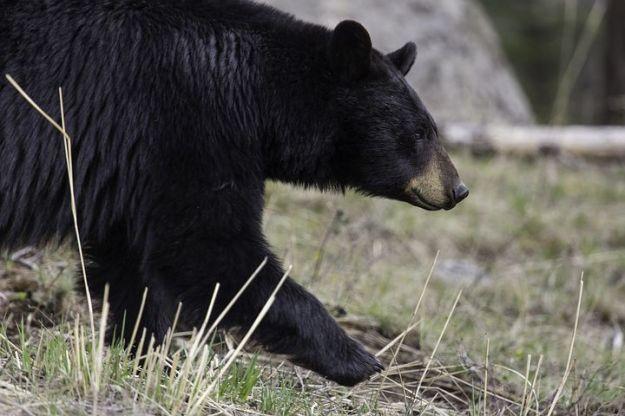 black-bear-1901957__480
